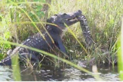 Florida man records battle between alligator, python