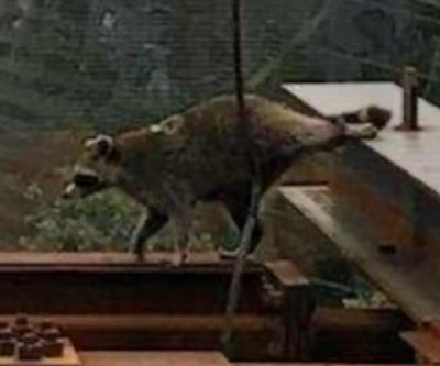 Raccoon rescued from WTC construction site in New York