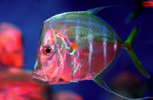 Marine fish prove masters of camouflage by controlling light