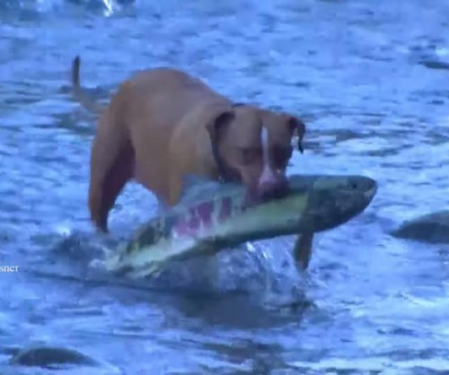 Pit bulls catch salmon in their mouths in viral video