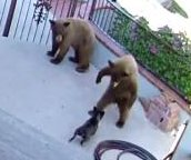French bulldog chases bears away from California home