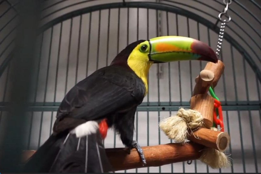 watch escaped toucan back home after lighting up social media upi com