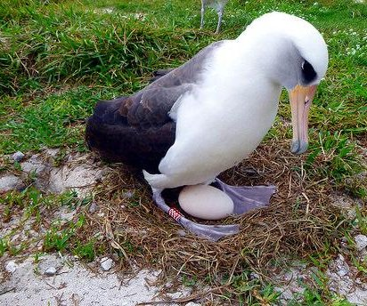 World's oldest breeding albatross 'Wisdom' lays egg at age 66