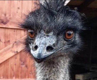 Escaped emu returned to owner in British town
