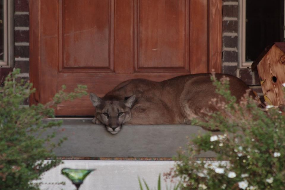 Watch cougar wanders into residential neighborhood naps on porch watch cougar wanders into residential neighborhood naps on porch upi sciox Image collections