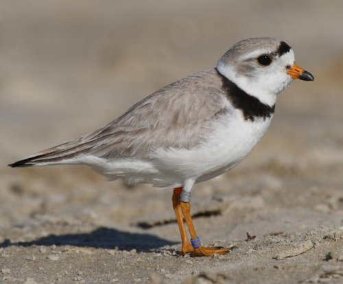 Small falcons pose danger to piping plover population in Great Lakes