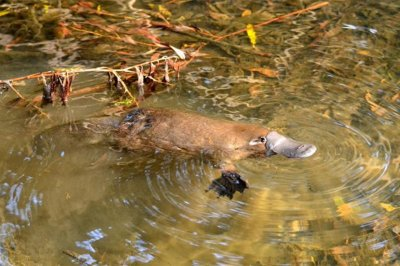 Platelet cells of ancient proto-platypus paved way for human pregnancy