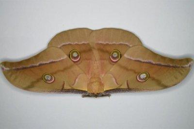 Battle between moths, bats driving acoustical evolution
