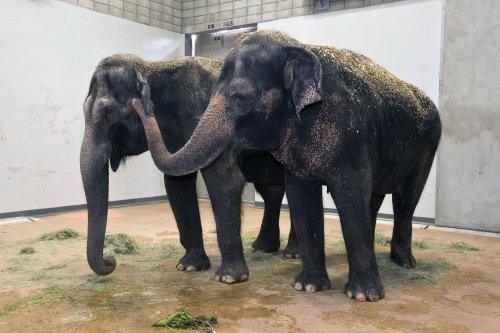 Two elephants euthanized at San Diego Zoo