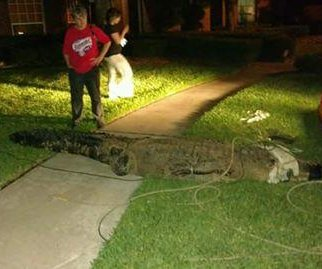 Gargantuan gator caught after chasing joggers in Houston