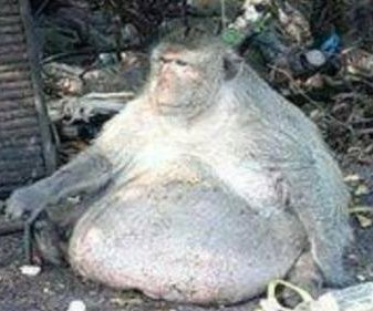 57-pound monkey 'Uncle Fatty' put on strict diet in Thailand