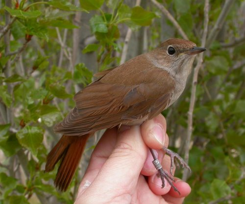 Climate change shrinking wings of nightingale, making migration more difficult