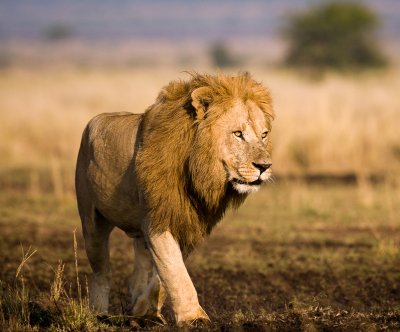 Lion kills American tourist in South Africa