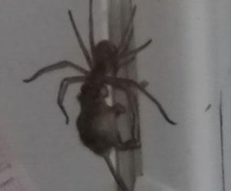 Giant spider carries full-grown mouse up Australian man's fridge