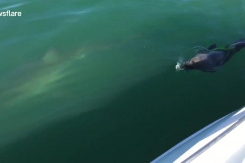 Fearless 'Chuck Norris' seal chases great white shark