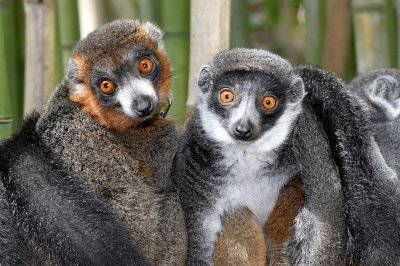 Lemurs prove there's more than one biochemical recipe for monogamous love