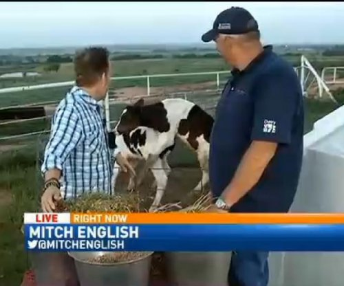 Cow puts the MOO-ves on comrade during live news broadcast