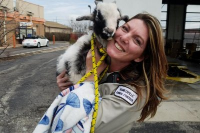 Animal control lassos baby goat running on busy road