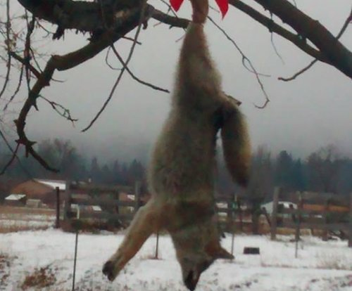 Dead coyote hung from tree with Christmas bow