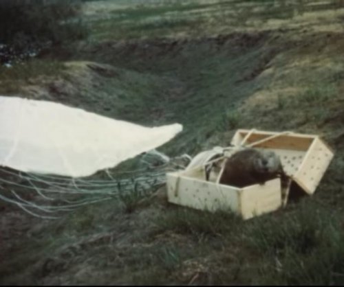 Long-lost film shows beavers being relocated via parachute in 1948