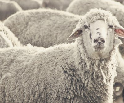 Welsh sheep go on rampage after eating cannabis plants
