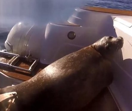 Seal jumps onto boat in British Columbia to avoid hungry killer whales