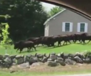 Bison herd escapes in New Hampshire, stampedes through road