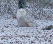 Rare snowy owl rescued from prison's barbed-wire fence