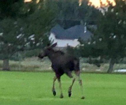 Moose runs wild through Idaho city