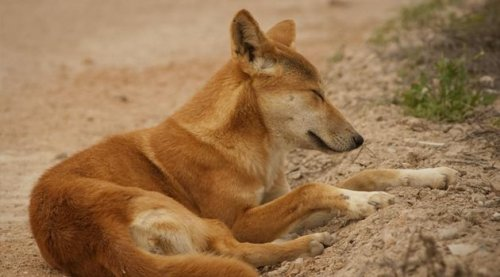 Coroner: Dingo snatched baby in 1980