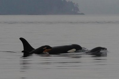 Endangered killer whale pod gets another newborn calf