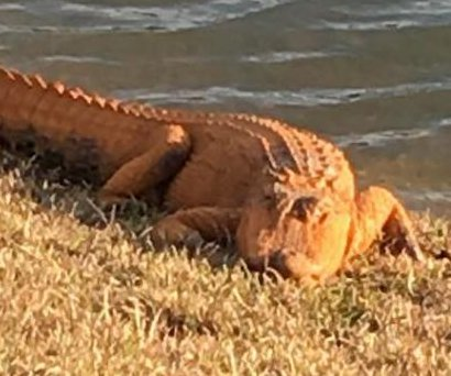 Second orange alligator found in the Carolinas, dubbed 'Donny'