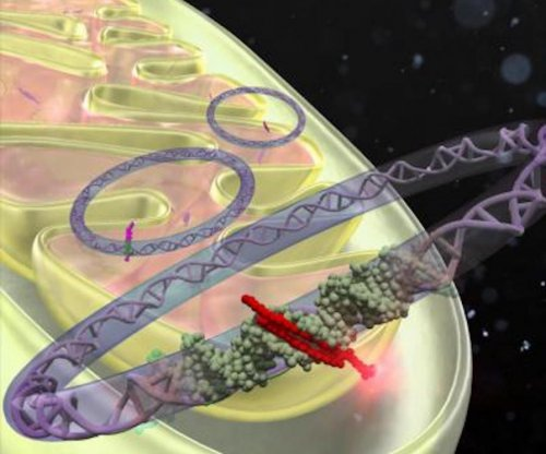 New synthetic compound can silence disease-causing genes in mitochondria