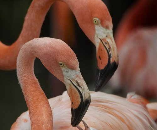 Resort seeking 'Chief Flamingo Officer' to care for birds