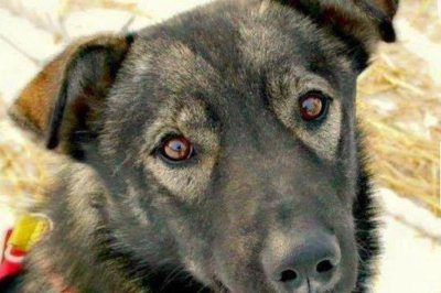 Man arrested in Iditarod sled dog death with snowmobile