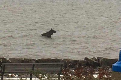 Moose's city swim causes traffic congestion in Ontario