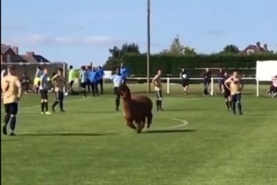 Watch: Escaped alpaca interrupts soccer game in England