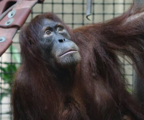 Orangutan escapes Kansas zoo enclosure, returns on her own