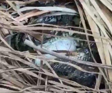 Snake catcher follows carpet python to surprising discovery -- eggs
