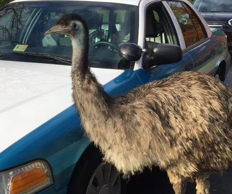 Virginia police share 'emusing' tale of emus on the run
