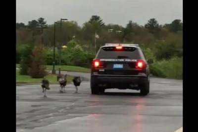Police warn of aggressive turkeys after flock chases patrol car