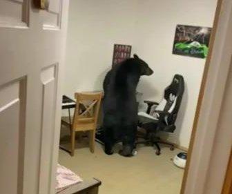 Bear wanders into house, breaks computer monitor
