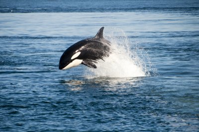 Orcas are showing up near Puget Sound in unprecedented numbers