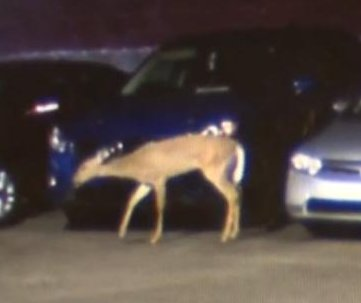 Deer captured in downtown Chicago parking garage