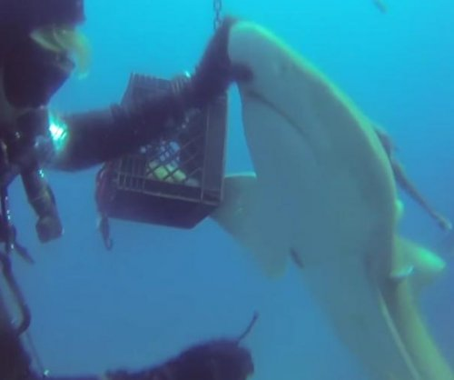 Florida diver pulls massive hook out of lemon shark's belly