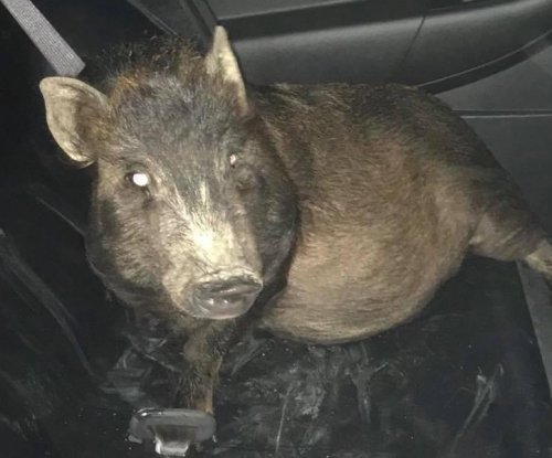 Ohio man calls 911 to report being stalked by a pig