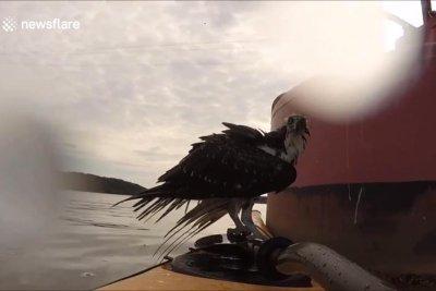Kayaker rescues osprey in Virginia river