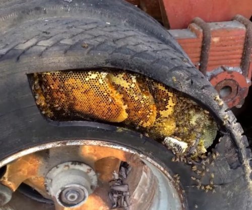 Texas bee specialist finds huge colony inside old trailer tire