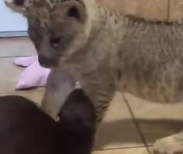 Lion cub plays with otter at Florida facility