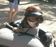 'World's coolest chihuahua' rides on back of motorcycle